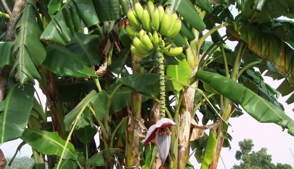 banana-tree-13899970279Ky